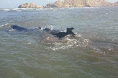 4 dolphins saved after being stranded on Omani coas