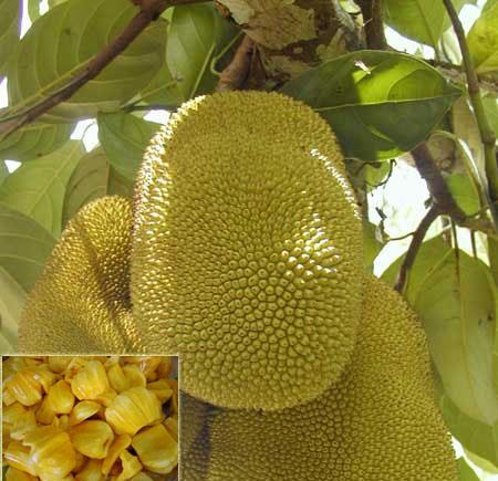 10748390-jackfruit