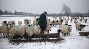 Farmer Roy Kerby feeds sheep after snowfall in Etwall