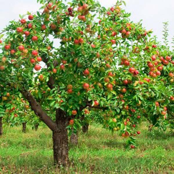 apple tree with fruit 300x300