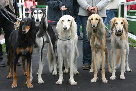 Saluki Dogs For Sale Uae