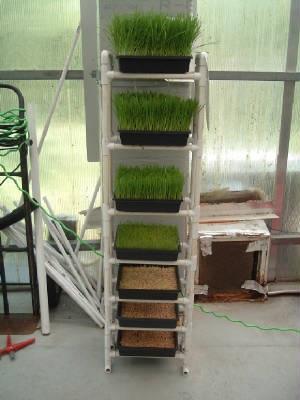 how to keep wheatgrass growing