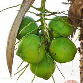 is coconut a fruit eagle fruit