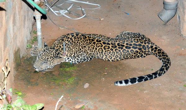 leopard-school
