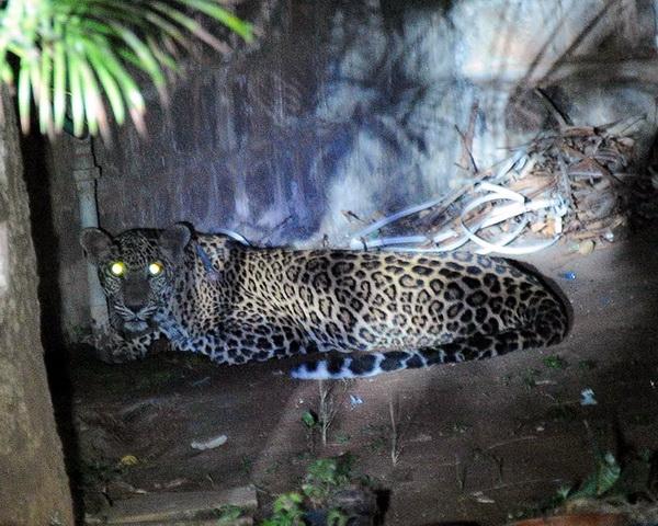 leopard-school1