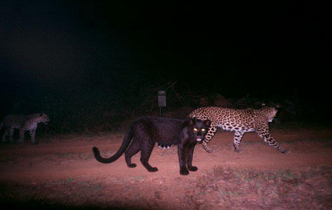 blackpantherwithleopardscws