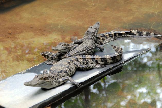 pilkula-crocodiles