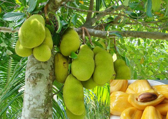 Jackfruit_Mela_4thyear