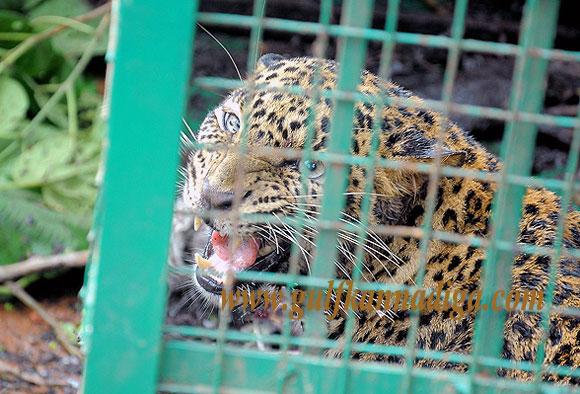 Bantwala_Tiger_Photo_1