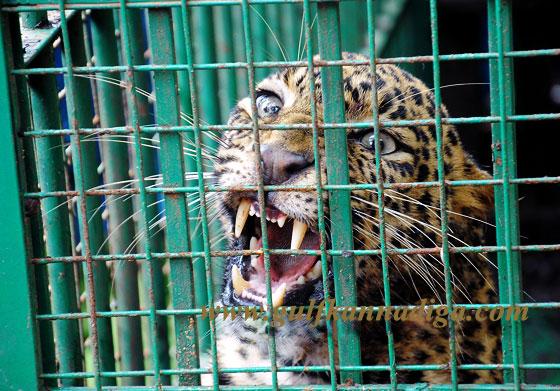 Bantwala_Tiger_Photo_3
