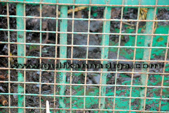 Bantwala_Tiger_Photo_4