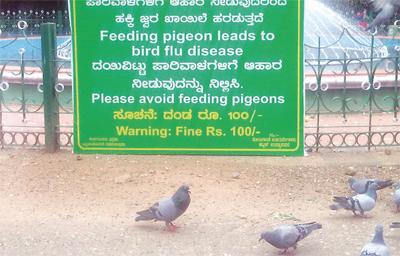 PIGEON- flu