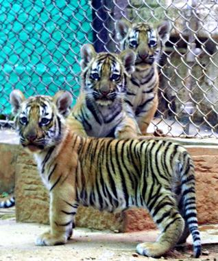 ... elated at its success in captive breeding of tigers KANNADIGA WORLD