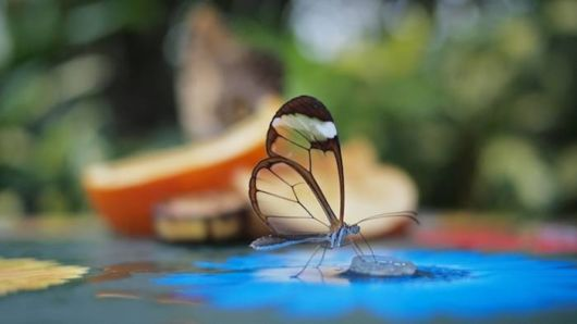 glasswinged_transparent_butterfly_01 (1)