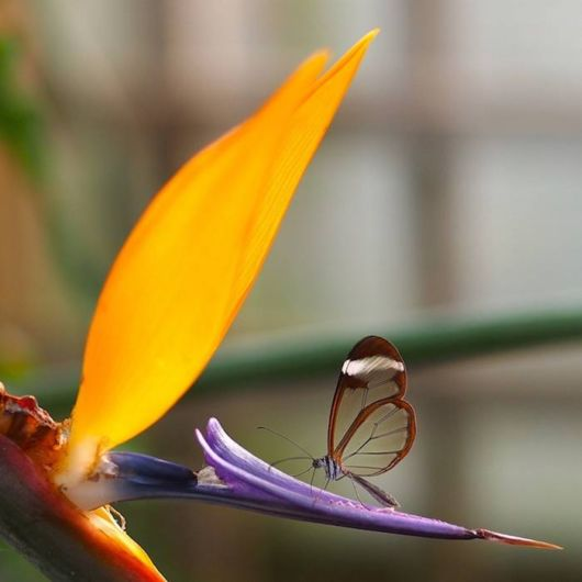 glasswinged_transparent_butterfly_02 (1)