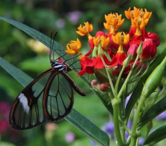 glasswinged_transparent_butterfly_03