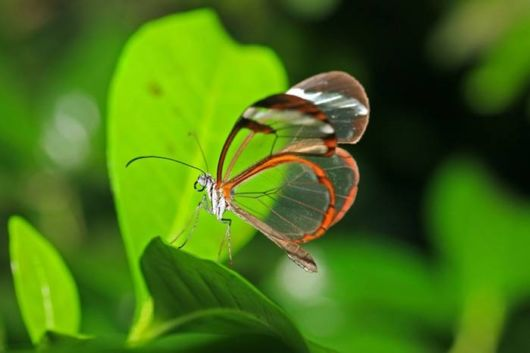 glasswinged_transparent_butterfly_04