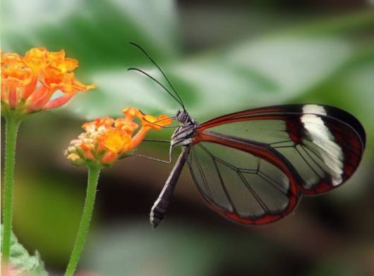 glasswinged_transparent_butterfly_05