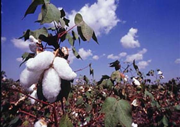 b.t.cotton_india