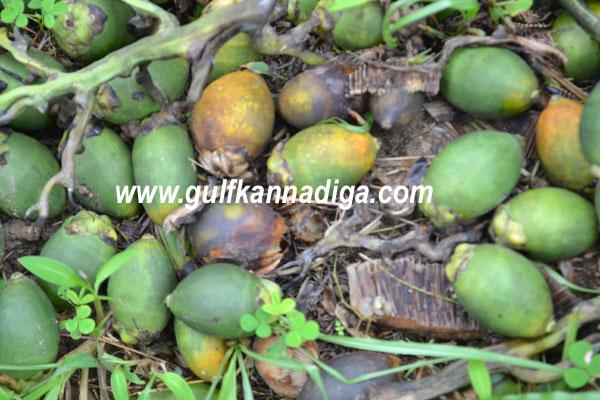 betel-nuts-1