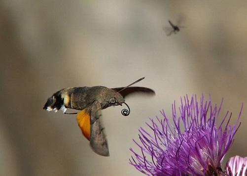 humming moth