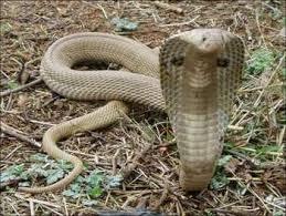 snake350_nagpanchami_festival