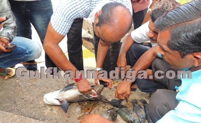 Kundapur Death Of Fishes In Kotitheertha Lake Rice Poisoning