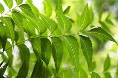 300x200 neem tree