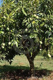 300x450 mangao tree