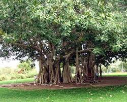 350x282 banyan tree