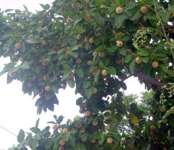 350x302 kadamba tree