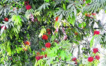 351x218 ashoka tree