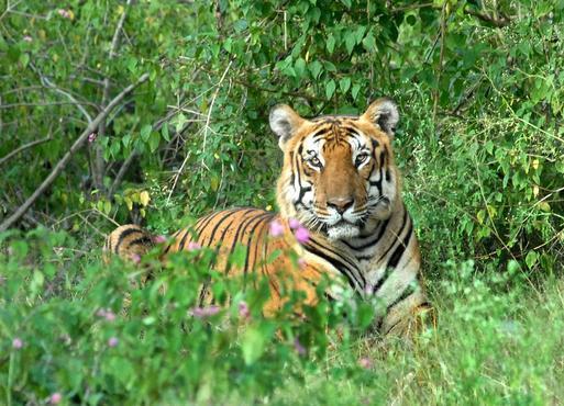bandipur_tiger_1670088f