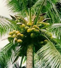 coconut 357x400