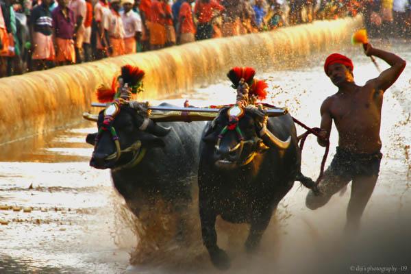 lava-kusha-buffalo race