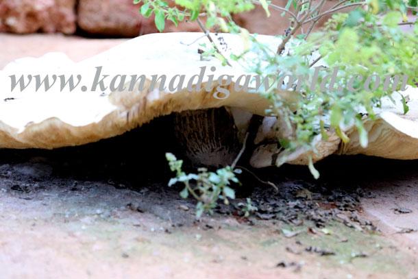 Big_mushroom_curiosity6