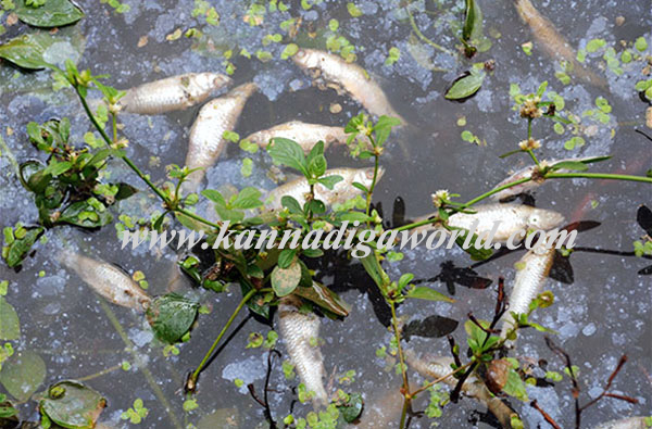 Contaminated water released in Karmbikere pond, kills large number of fish