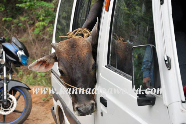 Illigale_Cow_Car_Accident_2