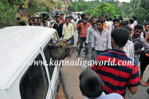 Illigale_Cow_Car_Accident_5