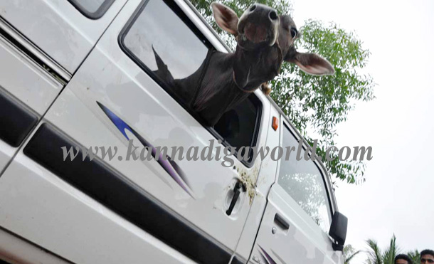 Illigale_Cow_Car_Accident_7