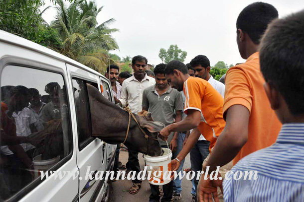 Illigale_Cow_Car_Accident_9
