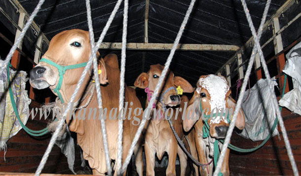 Ullala_cattle_stop