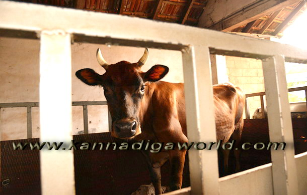 Cattle_trafficking_arrest_1
