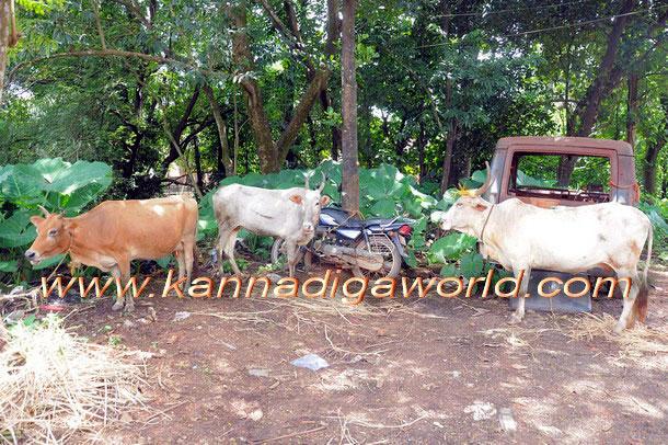 Bantwal_cattle_Crime_1