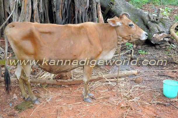 Bantwal_cattle_Crime_3