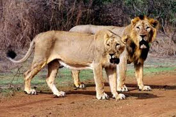 Asiatic-lionsfff