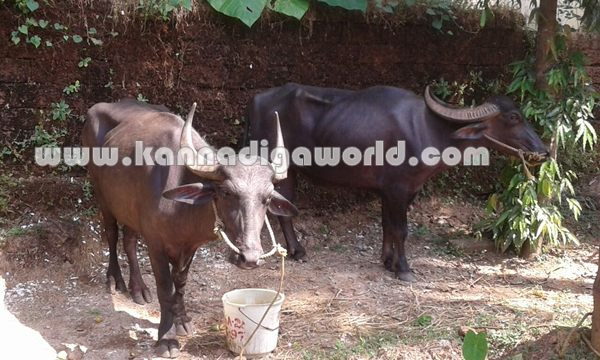 ಬೈಂದೂರು: ಕಳವಾದ 2 ಕೋಣಗಳು ಜೋಗುರು ಬಳಿ ಪತ್ತೆ