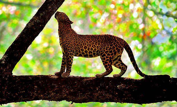 Leopard_0