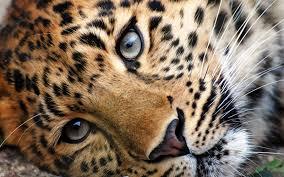 cheeta