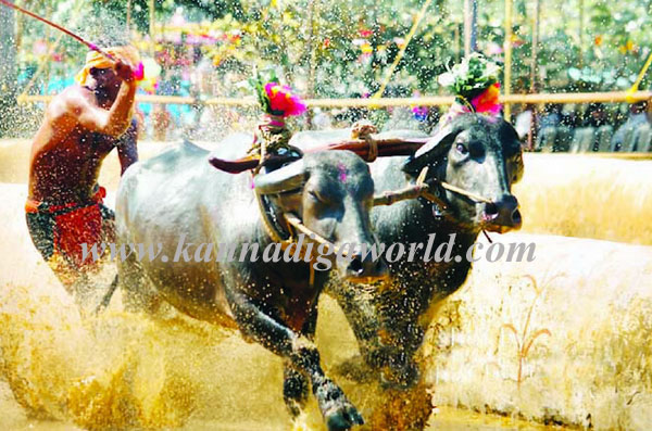 kambala_udupi_photo_1